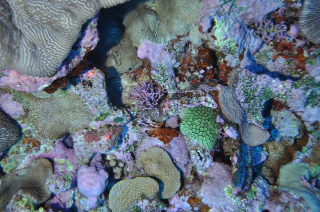 Figure 8. Various coral species and crustose coralline algae off northwestern Ofu at a depth of ~50 m. NOAA photo