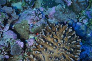 Figure 9. Soft coral species with crustose coralline algae off northwestern Ofu at a depth of ~50 m. NOAA photo