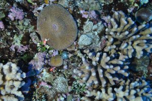 Figure 10. Various coral species and macroalgae off northern Ta`u at a depth of ~45 m. NOAA photo