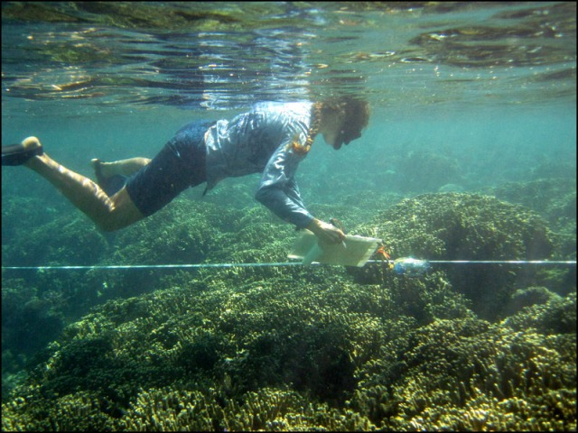 NOAA diver Marie Ferguson on April 5 conducts a survey of corals, using the belt-transect method, in Faga`alu Bay, American Samoa. NOAA photo by Michelle Johnston