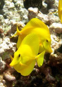 The yellow tang (Zebrasoma flavescens), as seen in the photo above taken on a reef off West Maui, is an example of the fishes protected in the Kahekili Herbivore Fishery Management Area. NOAA photo by Kevin Lino