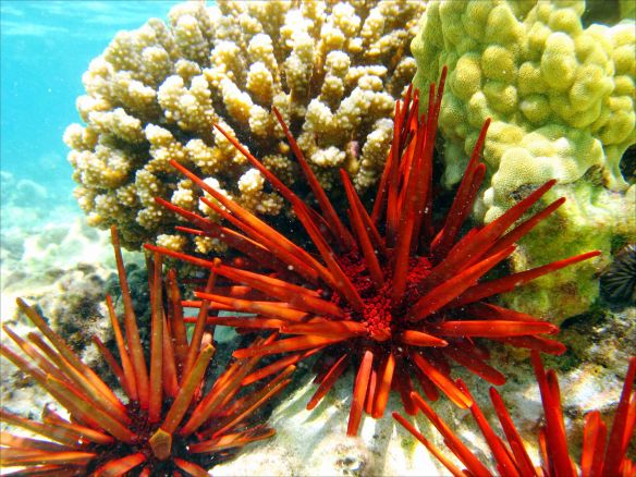 The stunning color and spines of the red slate pencil urchin (Heterocentrotus mammillatus) stand out on a reef off West Maui. Sea urchins are protected in the Kahekili Herbivore Fishery Management Area. NOAA photo by Kevin Lino