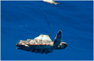 Neonate Sea Turtle swimming with satellite transmitter.