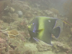 The semicircle angelfish (Pomacanthus semicirculatus), seen here in a photo taken on June 7, is one of the angelfish species found on reefs in Timor-Leste. NOAA photo by Kevin Lino