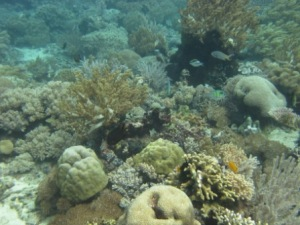 This photo, taken on June 6, shows the diversity of a typical reef scene in Timor-Leste. NOAA photo by Paula Ayotte