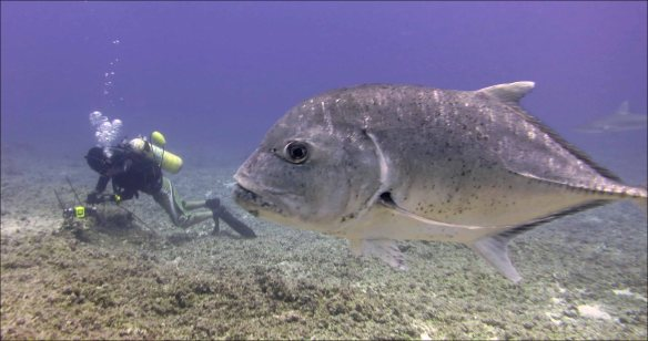 Chip Young installs a subsurface temperature recorder at Kure Atoll on July 16 with an ulua, or giant trevally (Caranx ignobilis), in the foreground. NOAA photo by Noah Pomeroy