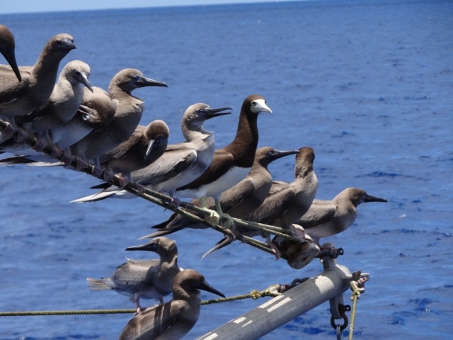 Juvenile and adult Boobies have been our constant companions and source of entertainment during our research