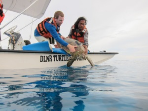 Turtle outfitted with satellite tagged released offshore of Saipan