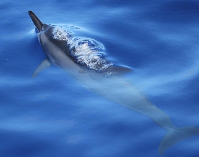 Figure 3: Spinner dolphin at Marpi Reef (photo credit: Daniel Webster).