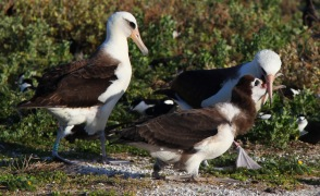 Albatross chick and parents