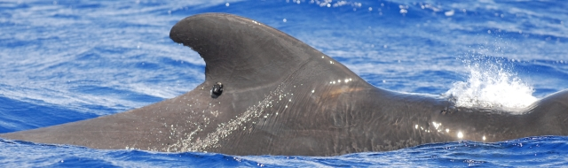 Figure 2: Adult male short-finned pilot whale with satellite tag #128920 off Orote Pt., Guam on 19 May 2014 (photo credit: Adam Ü).