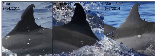 Figure 2: Spinner dolphin photographed of Rota and Marpi Reef (a distance of 162 km) (photo credit: Allan Ligon and Adam Ü).