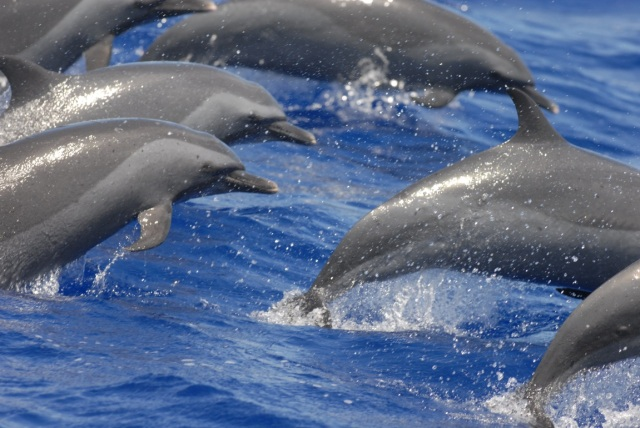 Figure 7: Pantropical spotted dolphins encountered off Guam on 23 May 2014 (photo credit: Adam Ü).