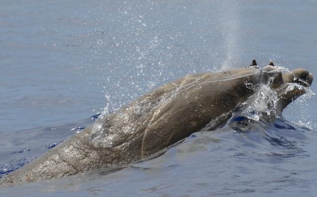 Figure 6:  Adult male Blainville's beaked whale photographed off Rota on 18 June (photo credit: Adam Ü)