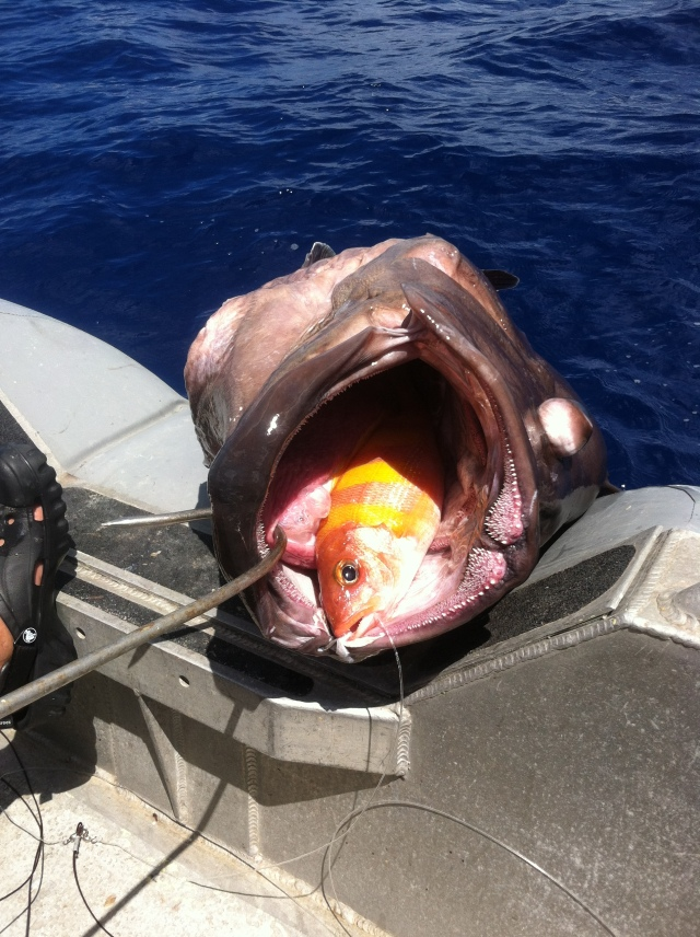 This Grouper (non-Target) ate a Gindai (non -Target) and the 125 pound fish got hooked in the lip by a small circle hook. Once on-board the eight-Banded Grouper completely filled the cooler and the team had to halt sampling and bring it back to the ship to be processed before resuming.