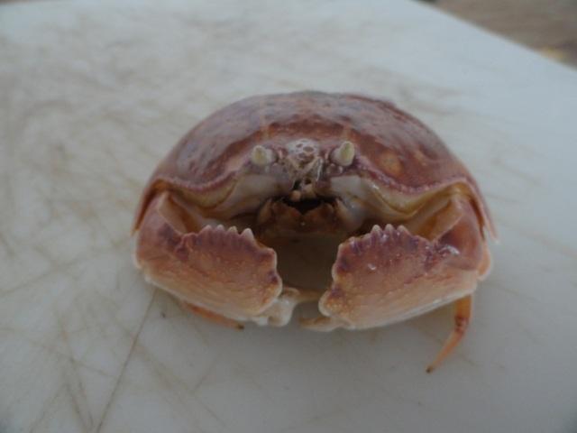 Shame-face crab