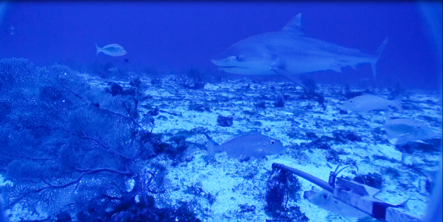 A tiger shark approaches the bait bag from a distance.
