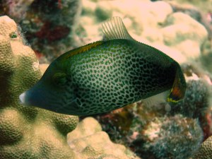 One of the many Hawaiian Fantail Filefish (Pervagor spilosoma) recruits seen on the reef in the Kahekili Herbivore Fishery Management Area (KHFMA).