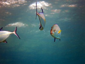 Several juvenile Bluefin Trevally (Caranx melampygus) investigate research divers.