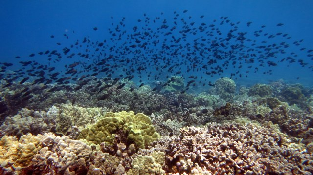 A large school of juvenile parrotfish and surgeonfish cruise over the reefs in the KHFMA looking for suitable grazing spots.