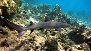 A little White Tip Reef Shark (Triaenodon obesus) emerges from its resting spot within the shallows of the KHFMA.