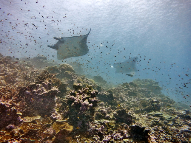 Figure 5: Manta rays swimming through a fish survey at Howland Island. Photo credit Louise Giuseffi.