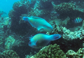 Herbivorous fish such as uhu (parrotfish) support resilient reefs by reducing macroalgae abundance. Uhu species shown are Bullethead Parrotfish (Chlorurus spilurus) above and Palenose Parrotfish (Scarus psittacus) below.