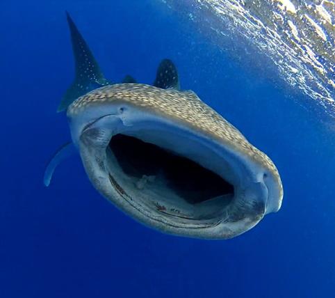 Figure 6_Whale shark 2