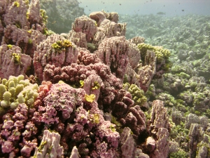 Shallow coral reef communities at Rose Atoll, conspicuously dominated by the pink-colored encrusting coralline algae.