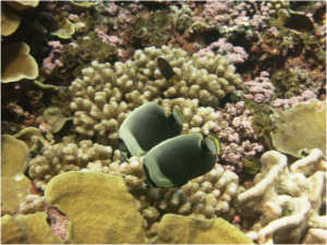A pair of the reticulated butterflyfish (Chaetodon reticulatus) at Swains Island.