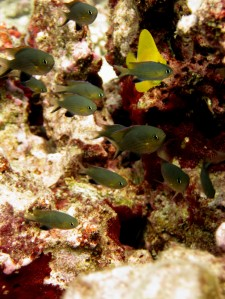 Image 5: A small school of Chromis vanderbilti huddle near the seafloor. Photo by Kevin Lino