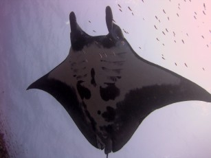 Image 6: A Giant Manta (Manta birostris) curiously swims over a diver during a survey. Photo by Kevin Lino