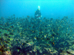 Image 7: Diver Paula Ayotte amongst a healthy school of Whitebar Surgeonfish (Acanthurus leucopareius) and Convict Tang (A. triostegus) while conducting an SPC dive.