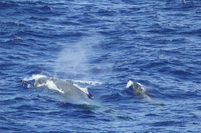 Bryde's Whale (Balaenoptera edeni) Mother and calf  -   photo by: Andrea Bendlin