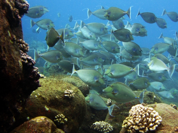 A school of unicornfish (Naso unicornis) swarm in the coral reefs off the coast of Maui. NOAA photo by Kevin Lino.