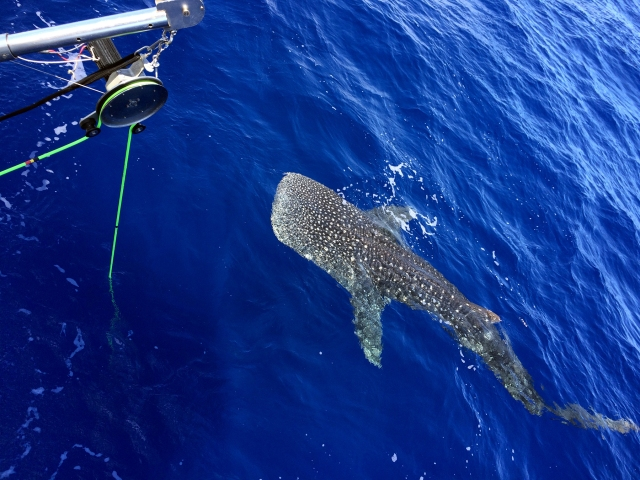 The whale shark inspecting the TOAD camera sled cable and pot hauler used to deploy it.