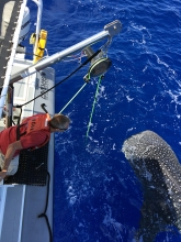The whale shark and Dr. Rooney exchange a close look.