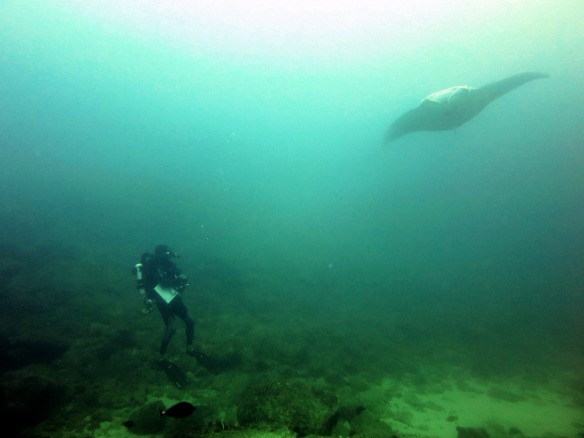 Diving on closed circuit rebreather, Kosta Stamoulis encounters a manta ray (Manta birostris) while conducting a Stationary Point Count visual fish surveys