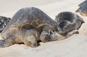 Green Sea Turtle and Hawaian monk seal (AG18) on beach