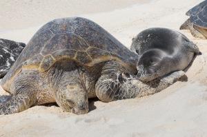 Green Sea Turtle and Hawaian monk seal (AG18) on beach