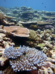 Underwater photo of coral assemblages at Fagatele Bay, American Samoa (NOAA Photo by Louise Giuseffi).