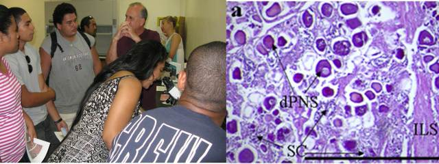 Figure 5. Mr. Robert Humphreys discussing fish reproductive aspects with the students (left). Histology slide demonstrating a transitional gonad comprised primarily of ovarian tissue (primary oocytes) with developing crypts of spermatocytes.