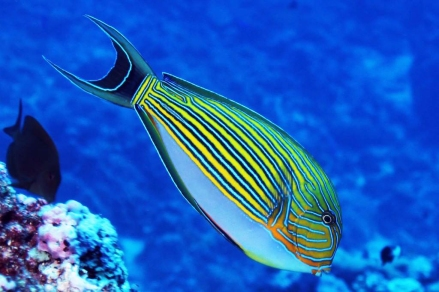 Lined Surgeonfish (Acanthurus lineatus), NOAA Photo by Ray Boland.