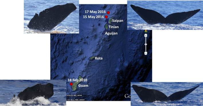 Figure 3: Re-sights of two individuals between Guam (February 2010) and Saipan (May 2016) (photo credit: Adam Ü and Marie Hill).