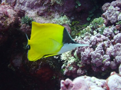 Yellow longnose butterflyfish (Forcipiger flavissimus), NOAA Photo by Motu Vaeoso