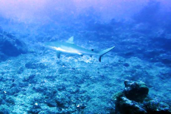 First shark