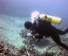Diver conducting belt-transect surveys to assess coral populations (NOAA photo)