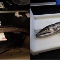 Lancetfish on the (Long) Line
