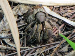 Juvenile coconut crab