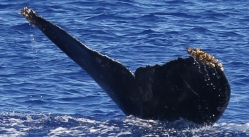 Whale MIMn-030 seen over Marpi Reef, near Saipan. Photo: NOAA Fisheries/Marie Hill